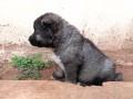 chien-de-race-small-1